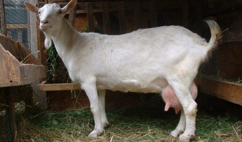 Коза не дает молоко