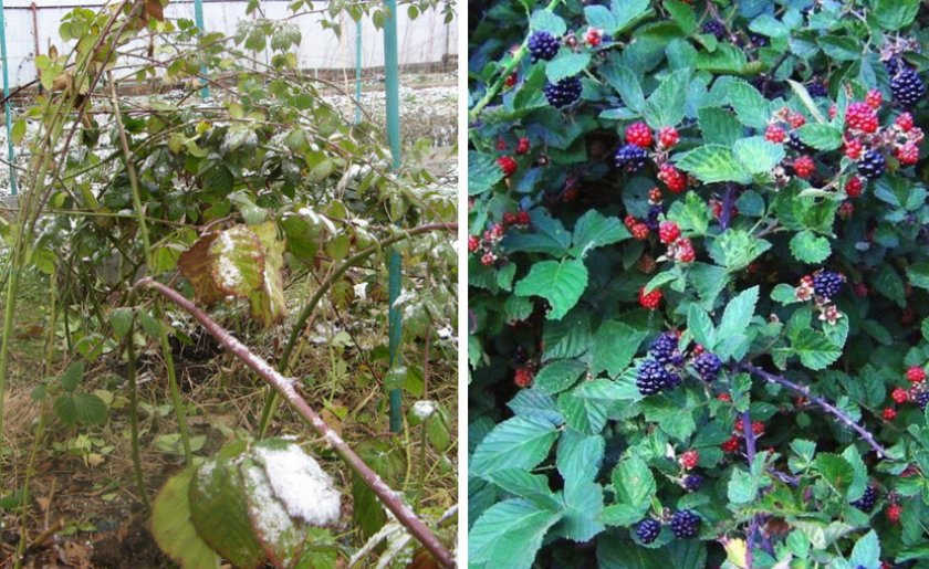 Куст ежевики зимой и летом