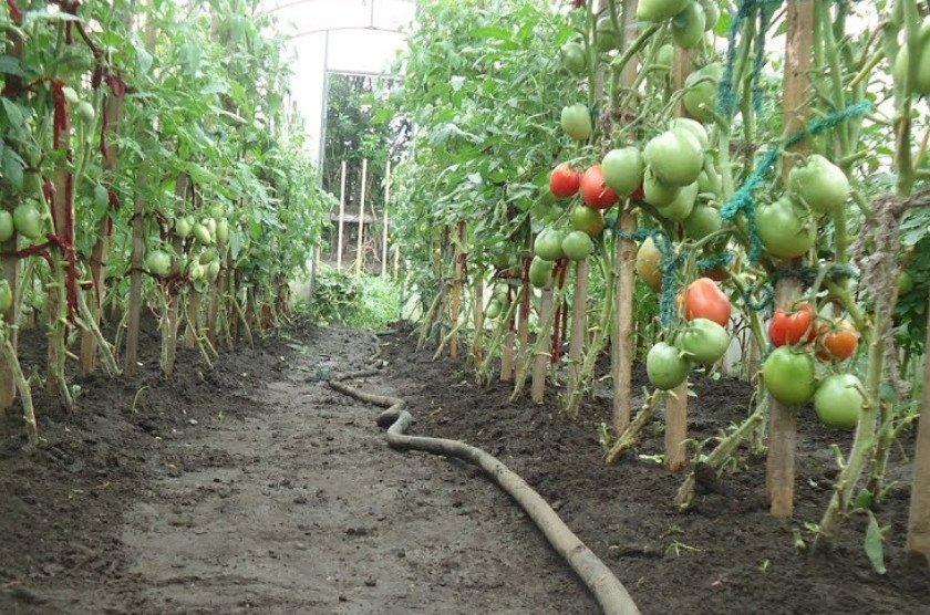 Полив помидоров во время плодоношения