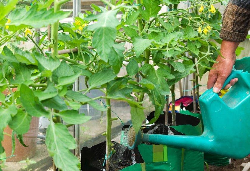 Подкормка и полив томатов