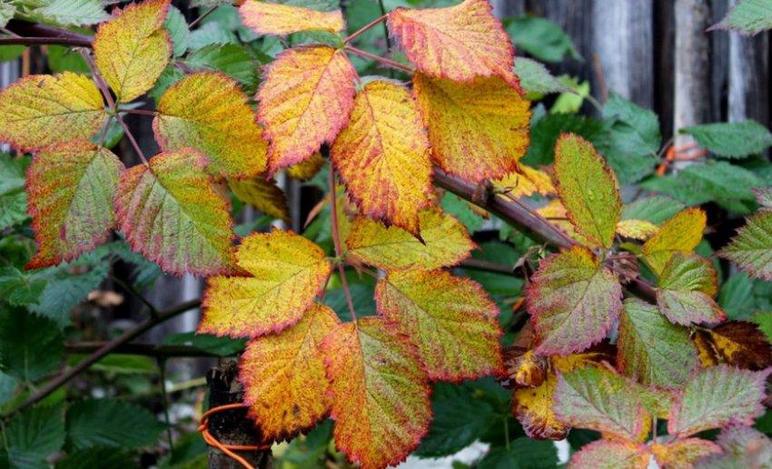 Куст ежевики осенью