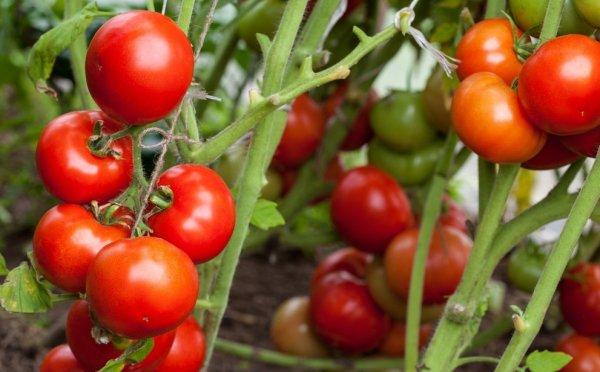 как часто надо поливать помидоры