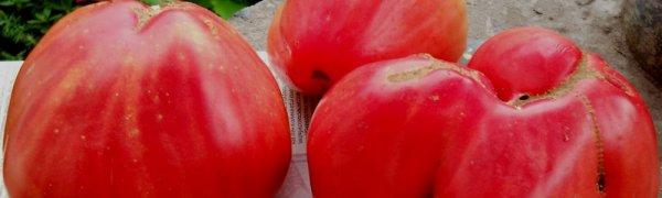 Томат Батяня: отзывы с фото, характеристика и описание сорта помидоров, секреты повышения урожайности