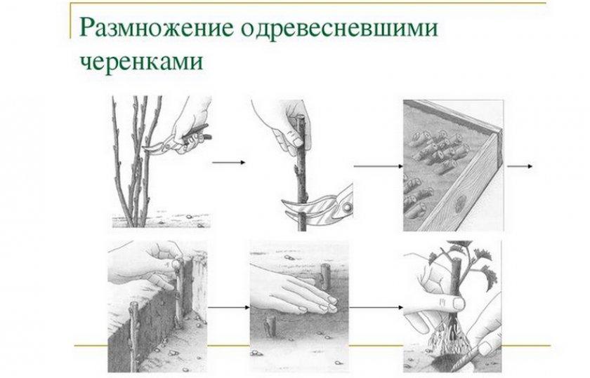 Размножение одревесневшими черенками