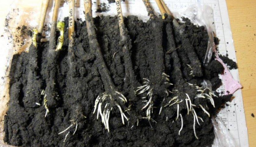 Укоренение черенков в землю