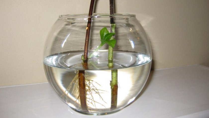Укоренение черенков в воду