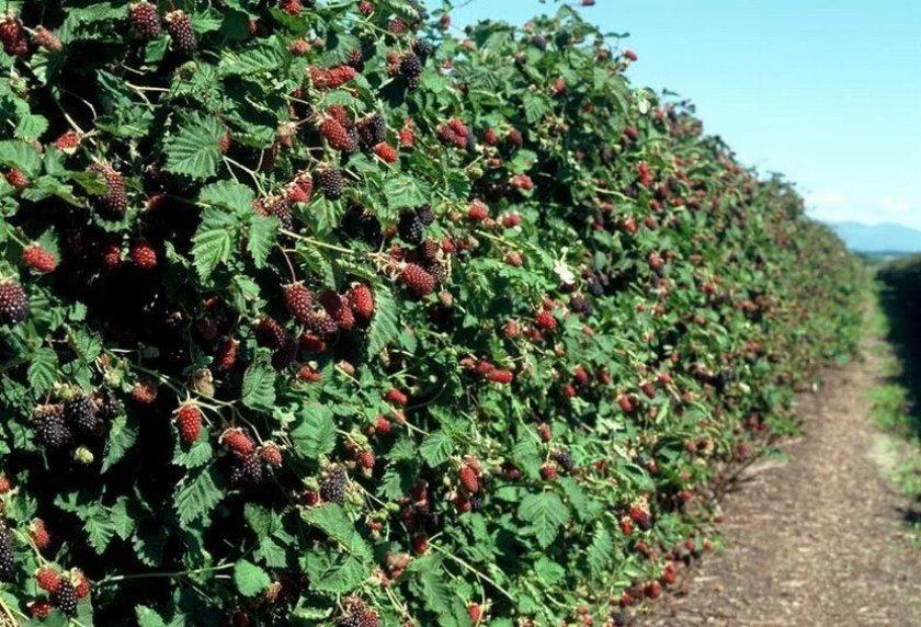 Урожайность и плодоношение ежевики