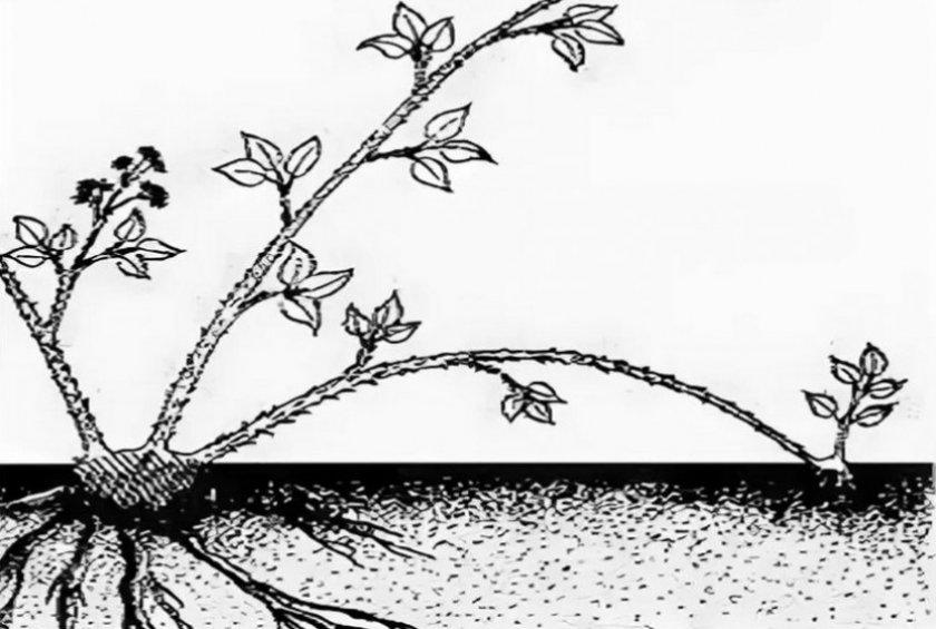 Размножение ежевики верхушечными отводками