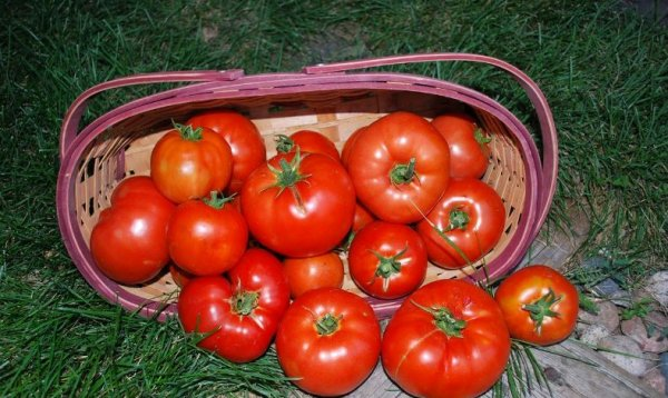 Томат Биг Биф: характеристика и описание сорта, выращивание, отзывы с фото