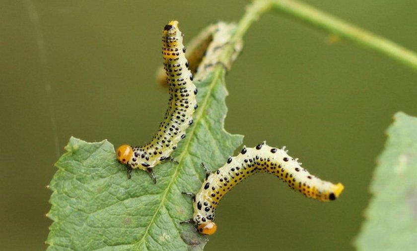 Гусеницы на жимолости