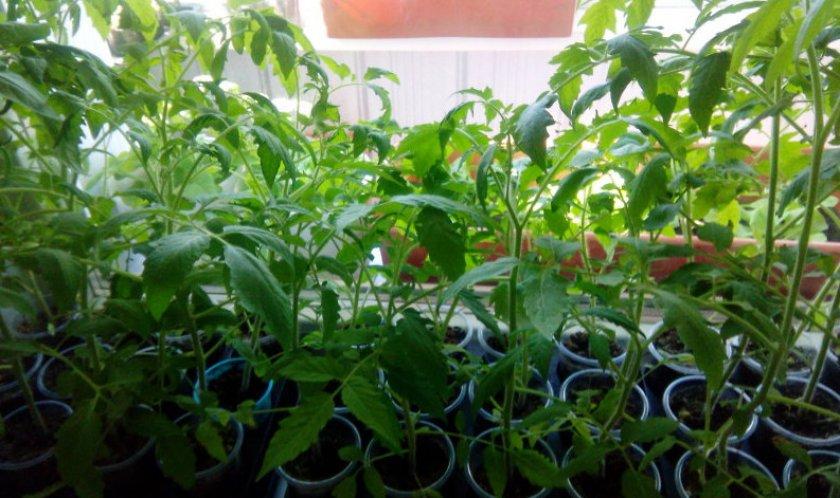 Рассада томатов
