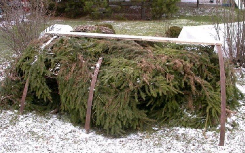 Якимов укрытие ежевики на зиму