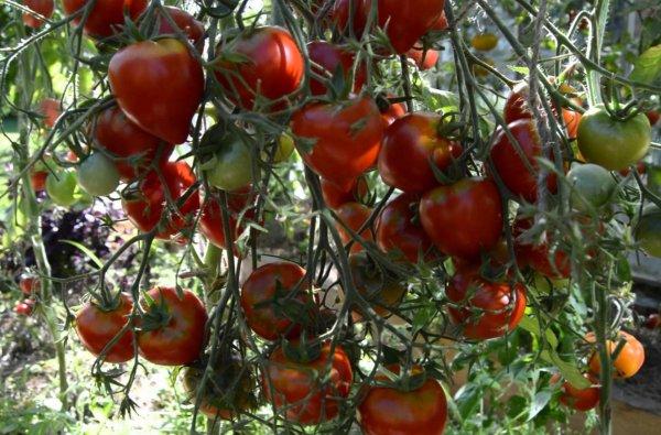 Томат Тарасенко юбилейный характеристика и описание сорта урожайность с фото