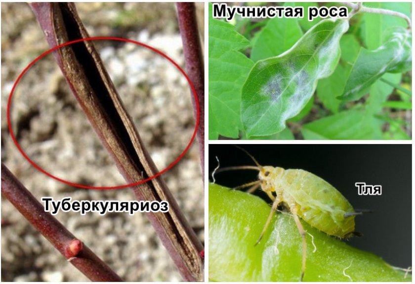 Бакчарская жимолость лучшие сорта: посадка и уход