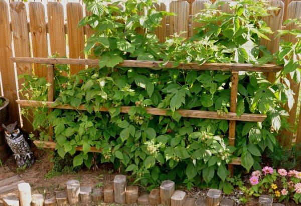 Шпалера для ежевики: выращивание, своими руками, опора, как подвязать