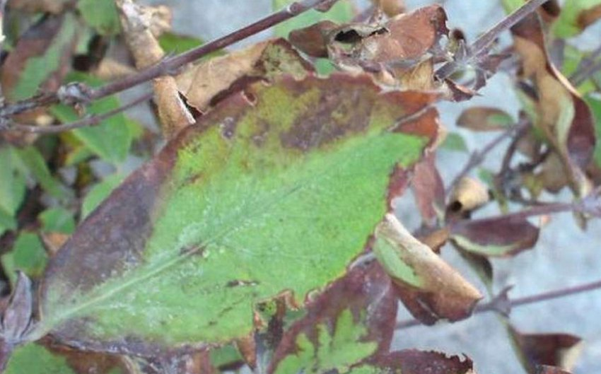 Рамуляриоз листьев жимолости