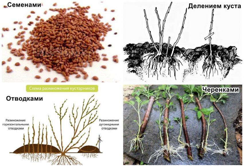Способы размножение кустарника