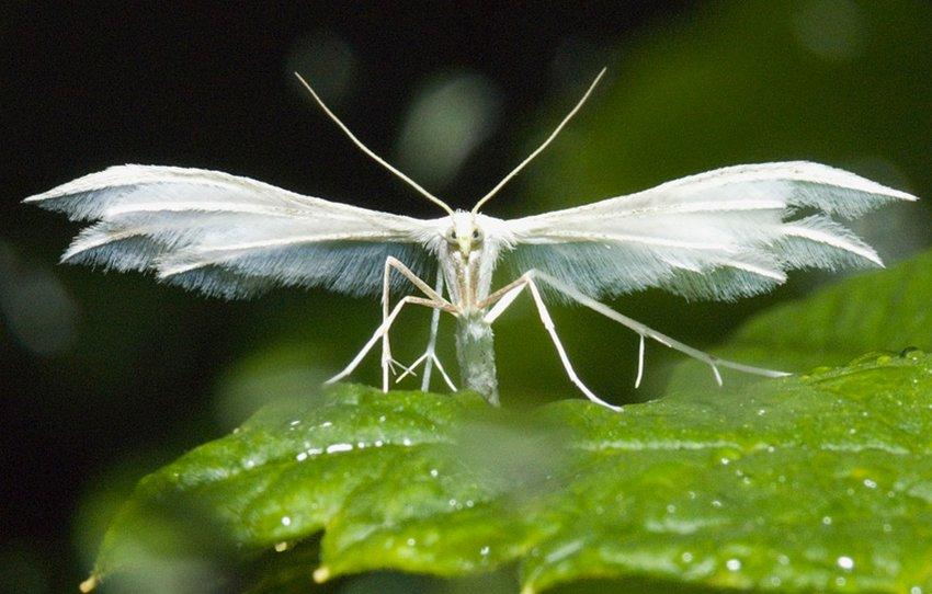 Пальцекрылка на жимолости