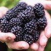 Лучшие сорта ежевики для Подмосковья: ранние, среднеспелые, наиболее урожайные и морозостойкие сорта