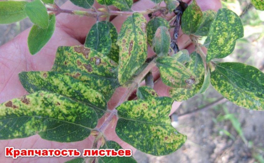 Крапчатость листьев