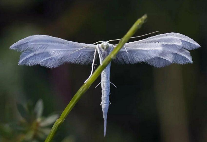 Пальцекрылка жимолостная