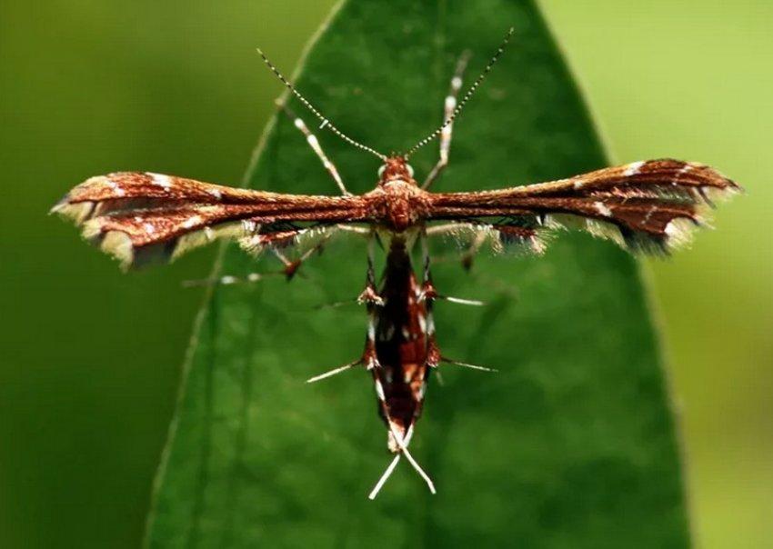 Жимолостная пальцекрылка