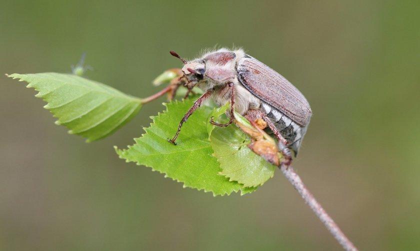 Майский жук на ежевике