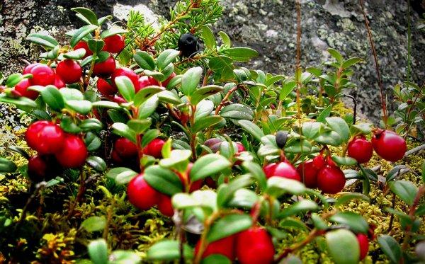 Брусника - выращивание из семян