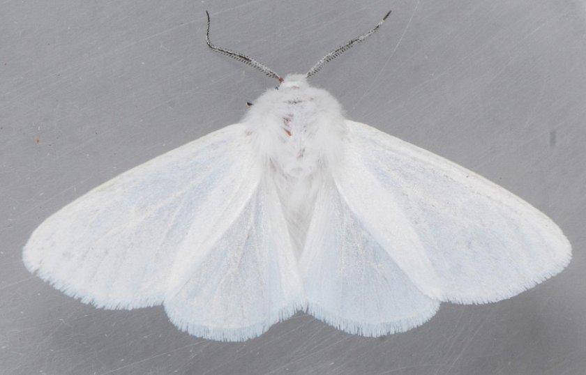 Бабочка клюквенной плодоножки