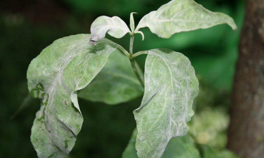 Мучнистая роса листьев кизила