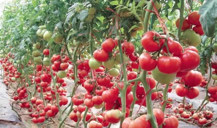 Урожай помидоров сорта «Жонглёр»