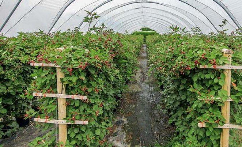 Выращивание ежевики в теплице