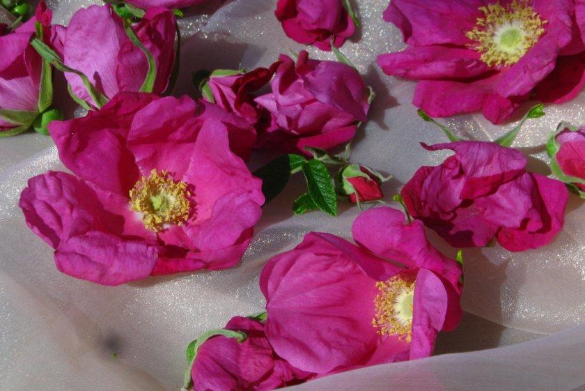 Цветы шиповнкиа