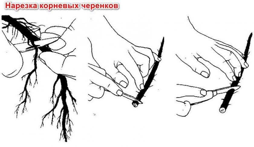 Черенкование ежевики