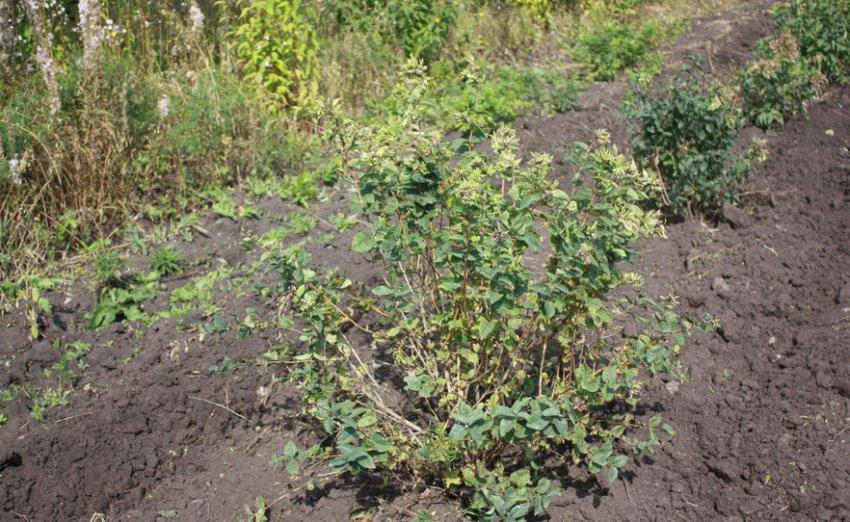 Место для выращивания жимолости