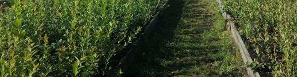 Выращивание голубики садовой: выбор места, посадка, уход и полив