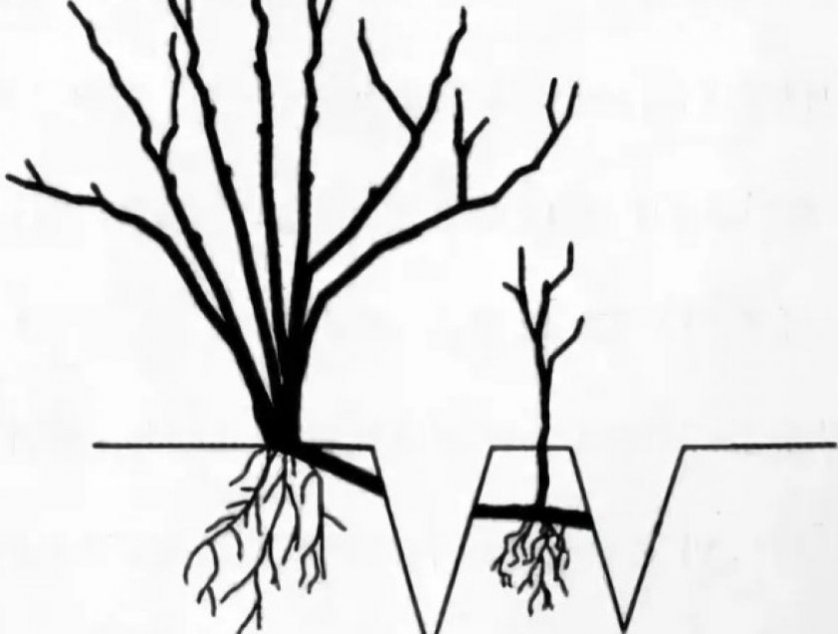 Размножение голубики парциальными кустами