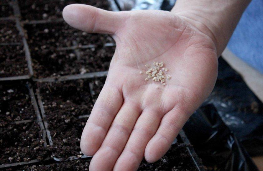 Прежде чем садить, семя нужно закаливать