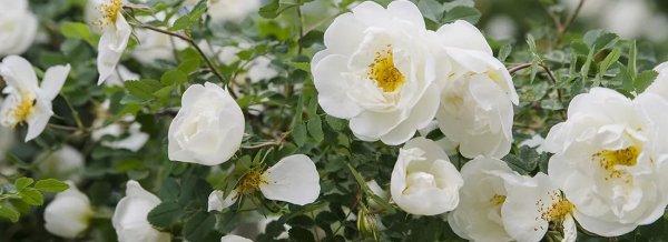 Шиповник цветущий вс лето