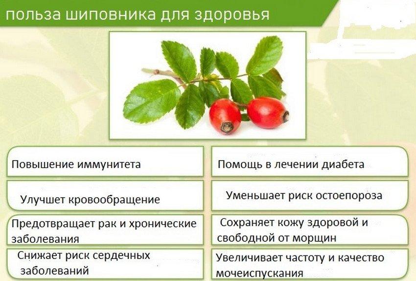 Польза шиповника для здоровья