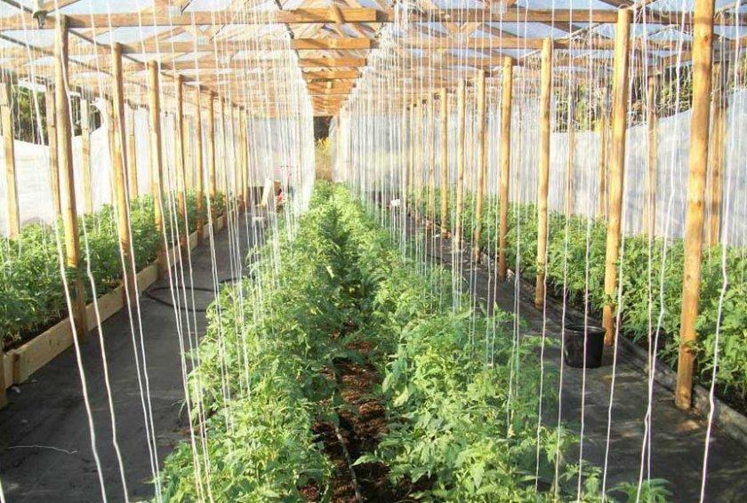 Линейное подвязывание помидоров
