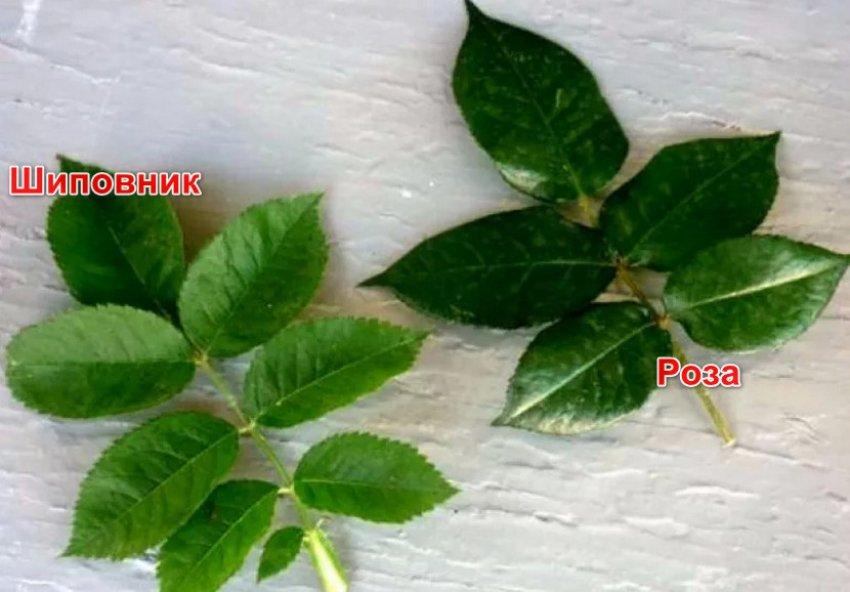 Листья шиповника и розы