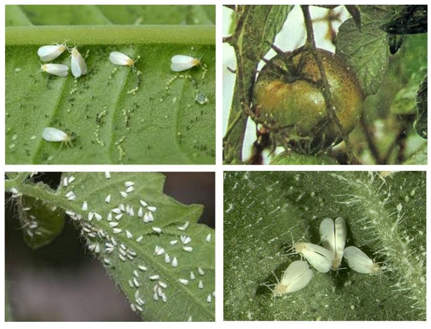 Белокрылка на помидорах