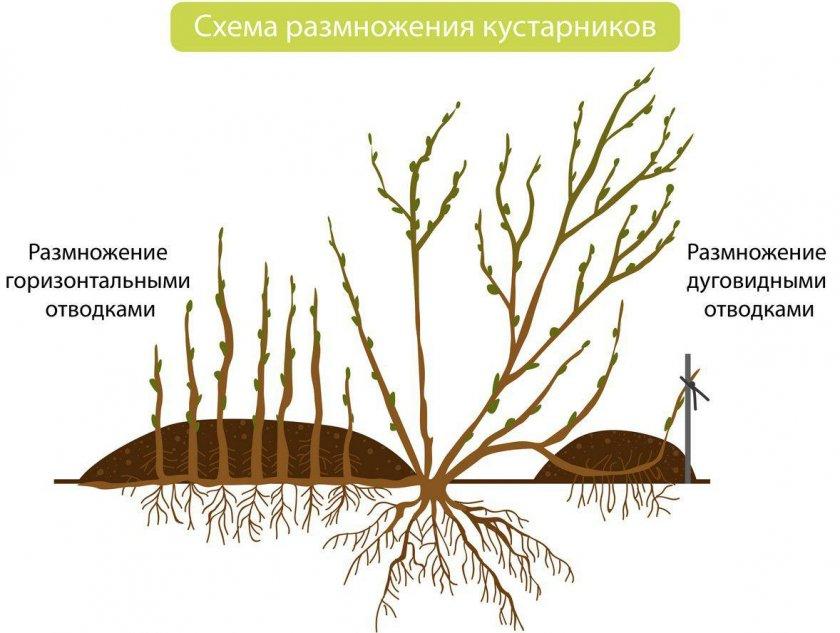 Размножение кустарников отводками