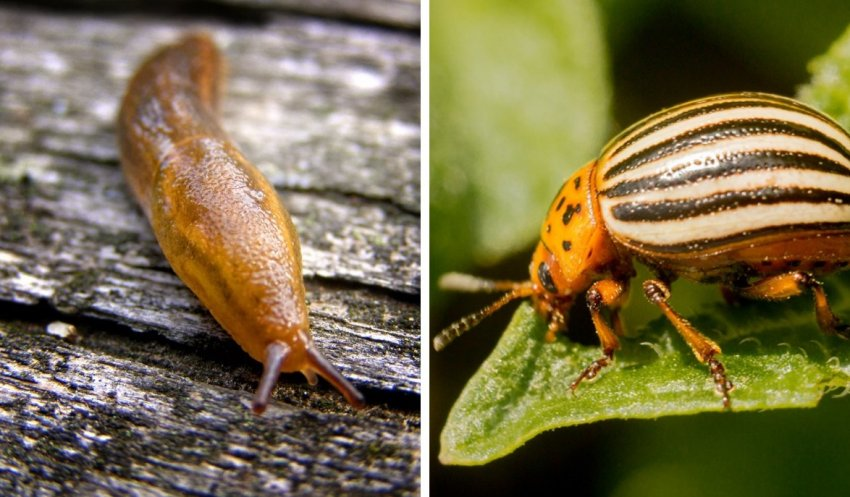 Слизень и колорадский жук