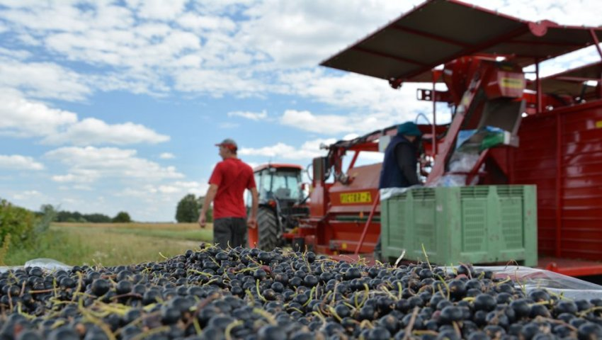 Выращивание смородины в промышленных масштабах