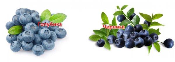 Голубика лесная гонобобель ягода