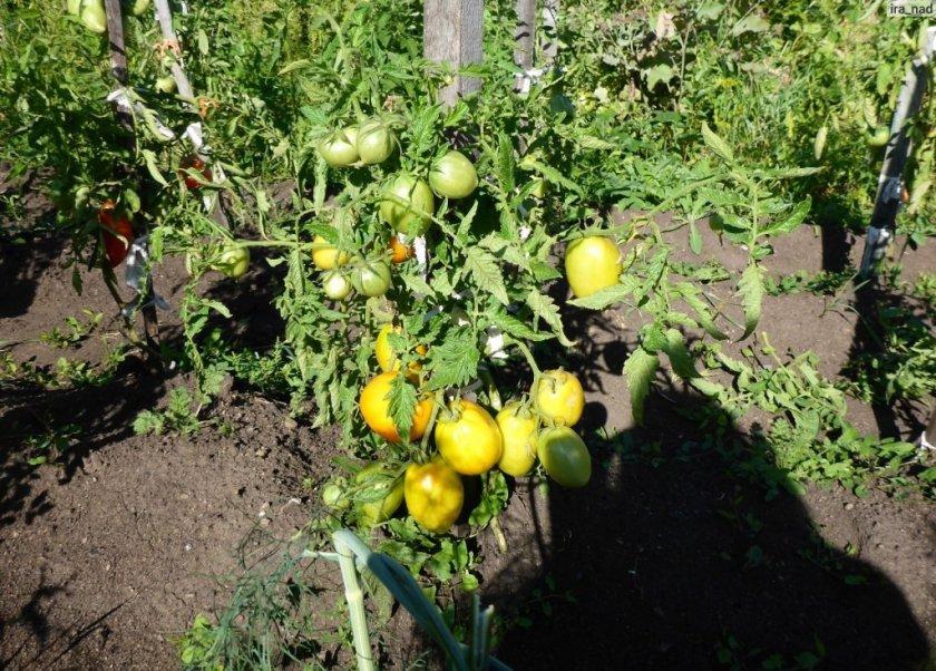 Выращивание томата Золотое сердце