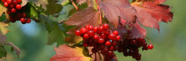 Калина обыкновенная: описание растения, как выглядит и где растёт, особенности цветения, выращивание