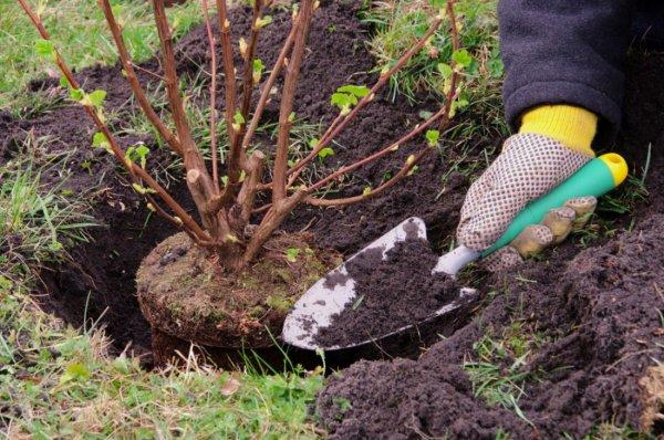 Высадка смородины весной